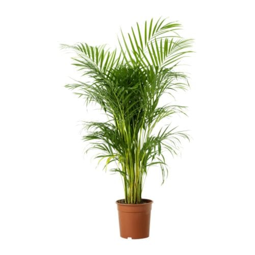 Areca palm with Plastic pot