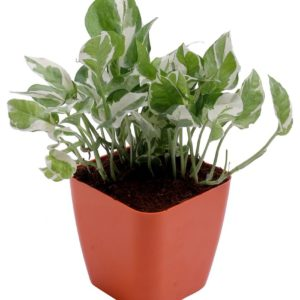 White Money Plant