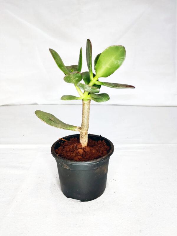 Crassula Ovata- Lucky plant