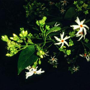 Buy parijat Plant - Nursery Nisarga