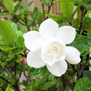Buy Gandharaj Plant, Gardenia - Nursery Nisarga