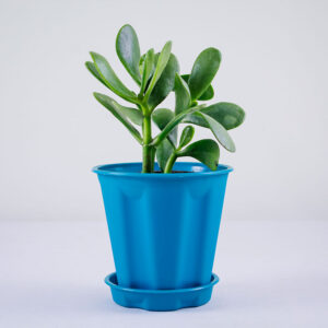 Buy Crassula Ovata plant online at Nursery Nisarga