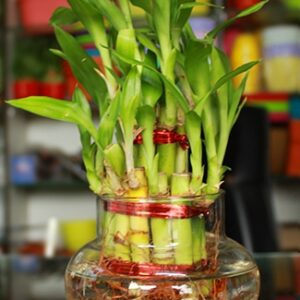 Lucky Bamboo 2 layer