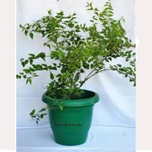 juhi plant, Indian Jasmine