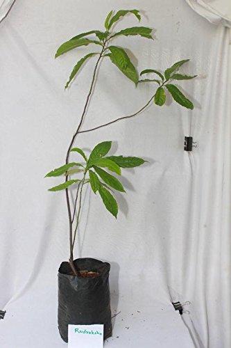 Rudhraksh Plant