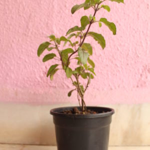 Rama Tulsi with plastic Pot