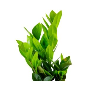 Buy ZZ Palm, Zamioculcas zamiifolia, Zamiya Palm - 20% off at Nursery Nisarga