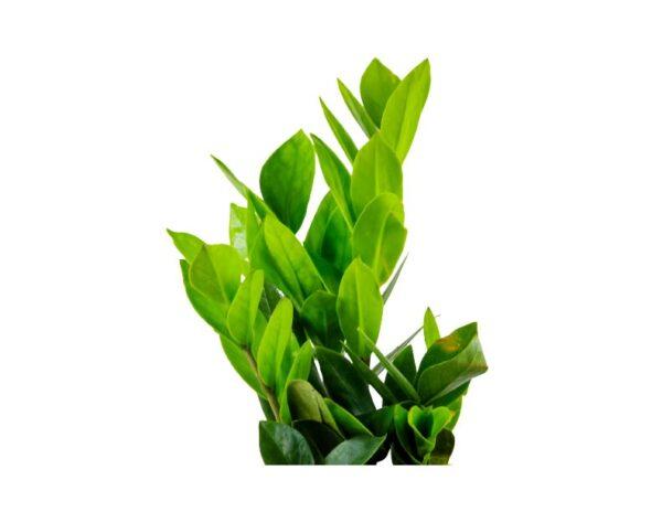 Buy ZZ Palm, Zamioculcas zamiifolia, Zamiya Palm - 20% off at Nursery Nisarga