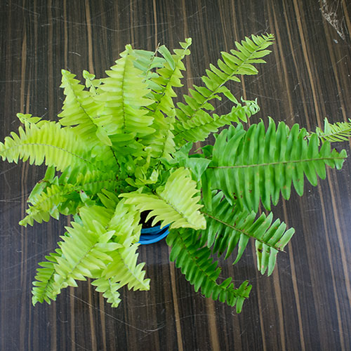 Air Purifier Boston Fern for Home-office