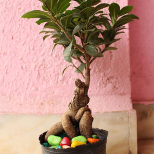 Dwarf Ficus Bonsai plant available online