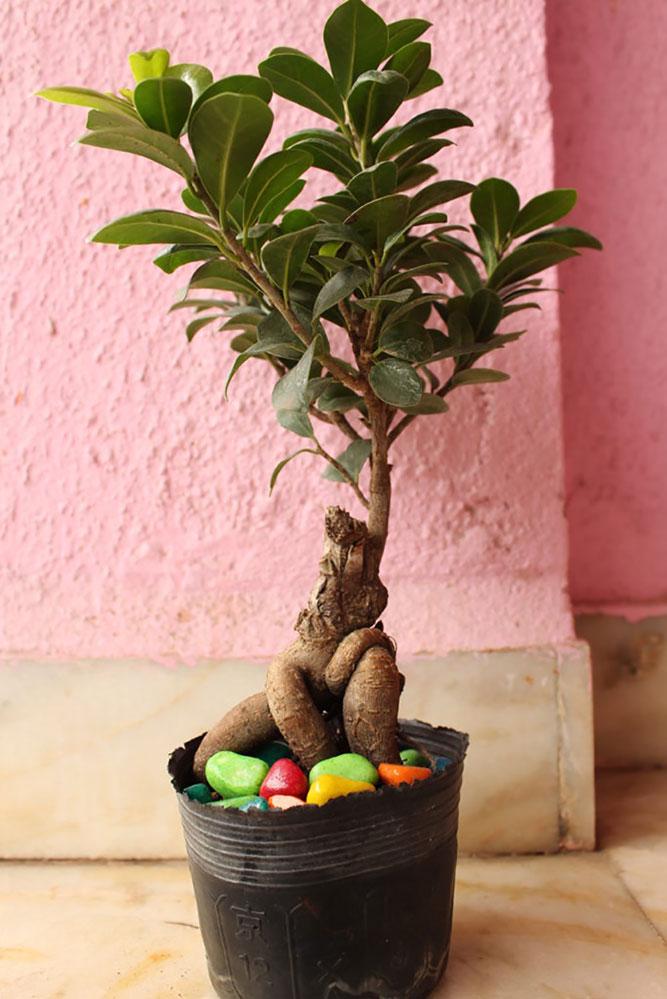Dwarf Ficus Bonsai Plant Nursery Nisarga Nursery Nisarga Ficus Microcarpa Bonsai Plant Nursery Nisarga