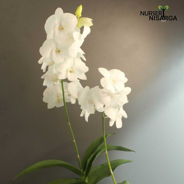 White Orchid Plant - Dendrobium Orchid With Pot