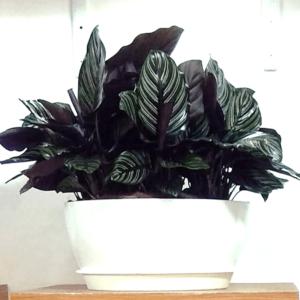 Black Marantha plant - Nursery Nisarga
