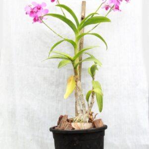 Purple Orchid Plant - Dendrobium Orchid With Pot