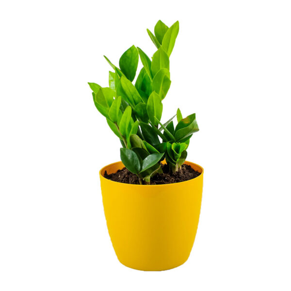 Buy Twisted ZZ Palm, Zamioculcas zamiifolia, Zamiya Palm - 20% off at Nursery Nisarga