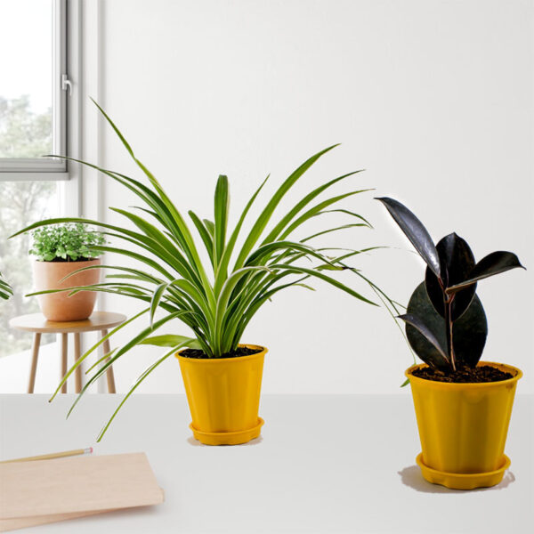 Spider + rubber Plant Pack