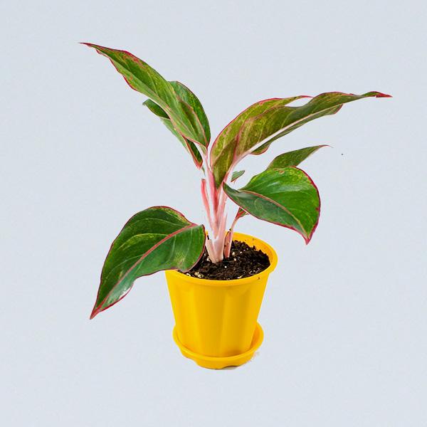 Buy Aglaonema red plant online