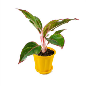 Aglaonema red plant