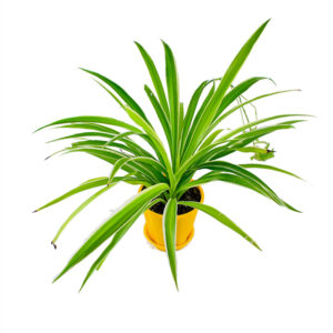 Buy Spider Plant Online at Nursery Nisarga