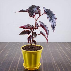 Buy Rex Begonia Online at Nursery Nisarga