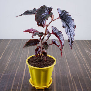 Buy Rex Begonia Online at Nursery Nisarga