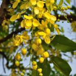 Buy Amaltas - Golden Shower plant at low price in India