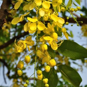Buy Amaltas - Golden Shower plant at low price in India
