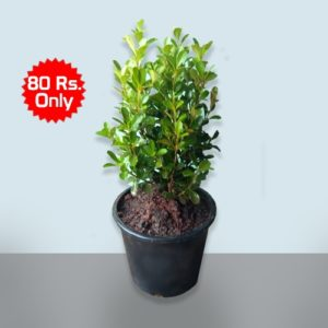 American Boxwood - Buxus plant online