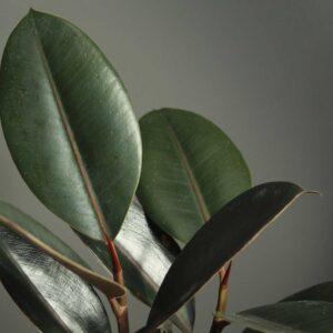 Buy Rubber plant, Ficus elastica, the rubber fig, rubber bush - Nursery Nisarga