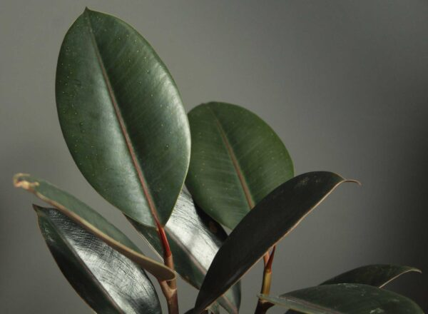 Buy Rubber plant, Ficus elastica, the rubber fig, rubber bush - Nursery Nisarga