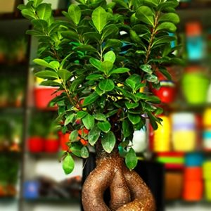 Ficus Bonsai Ginseng with Pebbles