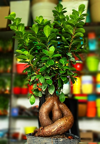 Buy Ficus Bonsai Ginseng With Pebbles Online At Nursery Nisarga