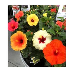 Buy Hibiscus multicolored plant online at Nursery Nisarga