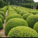 American boxwood or buxus plant