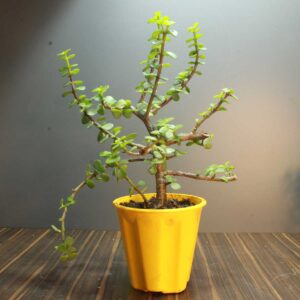 Buy Jade plant - Crassula Ovata online from Nursery Nisarga