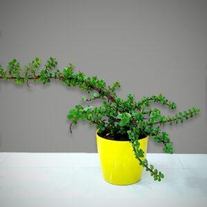 Jade Plant - Crassula Ovata plant, Goodluck plant - Nursery Nisarga