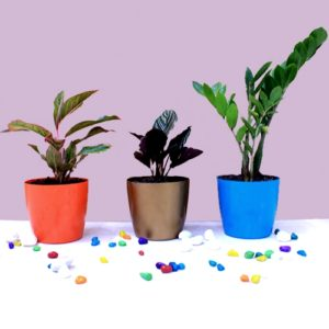Low Maintenance Top 3 Indoor Plants Pack