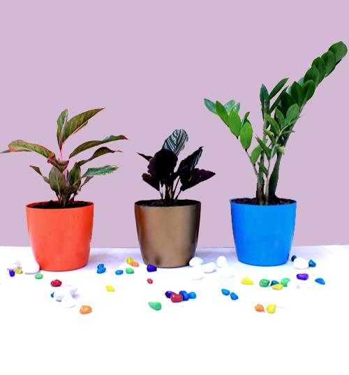 Low Maintenance Top 3 Indoor Plants Pack
