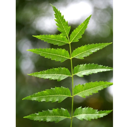 Buy Neem Tree Azadirachta Indica Online At Nursery