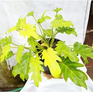 Philodendron Xanadu Golden