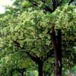 Saptaparni plant