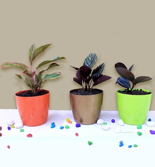 Top 3 Delightful Indoor Plants Pack