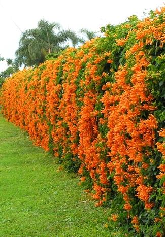 Trumpet Vine plant - Nursery Nisarga