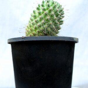 Pincushion Cactus