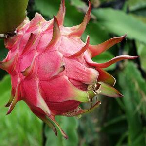 Buy Dragon Fruit Plant - Nursery Nisarga