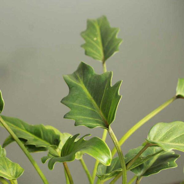 Buy Xanadu philodendron with plastic coloured pot