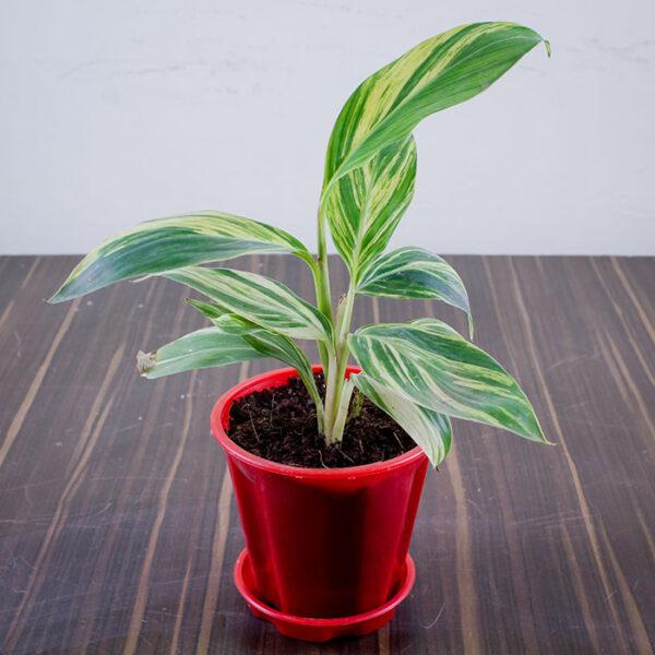 Buy Alpinia Purpurata Online At Nursery Nisarga