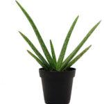 Aloe vera plant -Aloe barbadensis miller, medicinal plant online