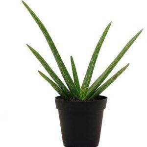 Alo vera plant -Aloe barbadensis miller, medicinal plant online