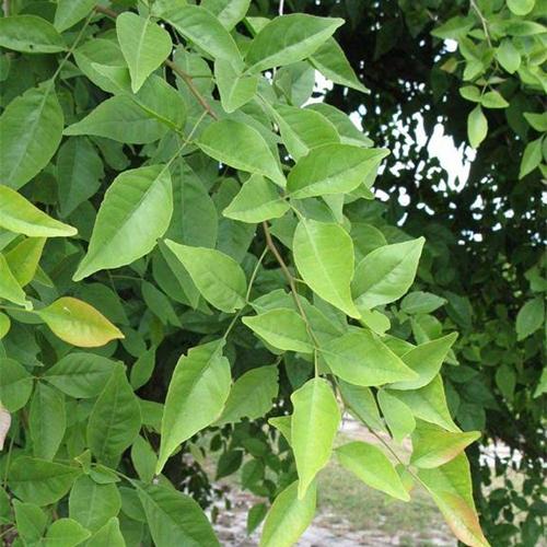 Bel Patra - Tree of chitra Nakshatra, Virgo plant